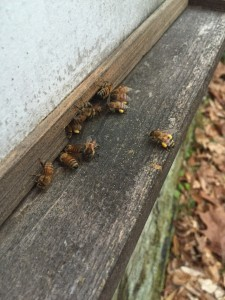 bees pollen 2016